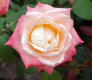 Delicate Rose With Pale Pink and Yellow Petals. A beautiful delicate rose growing in a home garden, with subtle pink and yellow petals royalty free stock photos