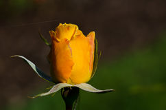 Delicate Rose and the Passing Strand of a Sunlight Web Royalty Free Stock Photos