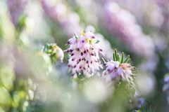 Delicate rose-pink flowers of Erica darleyensis plant Winter Heath isolated in close-up macro shot stock photo