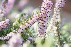 Delicate rose-pink flowers of Erica darleyensis plant Winter Heath in winter garden during sunny day royalty free stock image