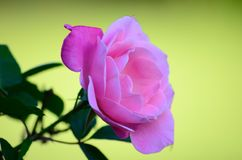 Delicate Rose Royalty Free Stock Photo