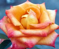 Delicate Rose With Pink Orange and Yellow Petals. A beautiful delicate rose growing in a home garden, with subtle pink, orange and yellow petals stock photography