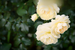 Delicate Rose plant Stock Photo