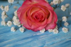 A delicate rose rests on a blue background surrounded by flowres Gypsofila. On the table is blue the flower is rose pink with small, white flowres Gypsofila Royalty Free Stock Image