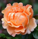 Delicate rose in salmon pink colour. Cultivated single rose with green background in salmon pink/orange colour Stock Photography