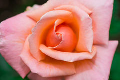 Delicate Rose. Slowly open, likable royalty free stock photo