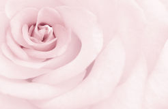 Delicate rose. Tone. The tone delicate rose in form of art postcard Stock Photography