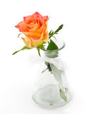 Delicate rose in a vase  on a white background Stock Images