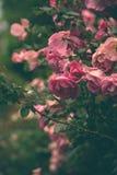 Delicate roses Stock Photo