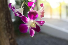 Delicate scarlet purple flower phalaenopsis orchid. stock image