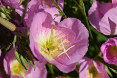 Delicate Showy Pink detailed Flower blooms. Pretty showy Pink delicate detailed Flower blooms royalty free stock photos