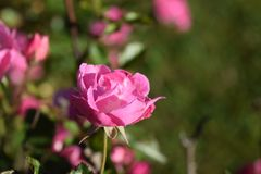 Delicate Showy Pink Rose Flower Bloom stock photo