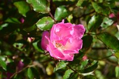 Delicate Showy Pink Rose Flower royalty free stock images
