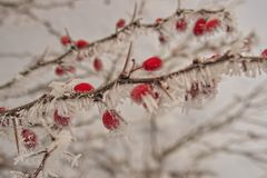 Beautiful shrub with red fruits covered with white frost Royalty Free Stock Photo