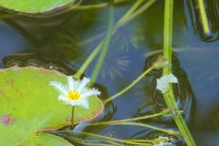 A delicate single white flower from a water lily, in a small Thai garden pond. royalty free stock photography