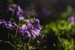 Delicate and small fragrant flowers of violets surrounded by juicy greens. Background with flowers is soft. royalty free stock photography