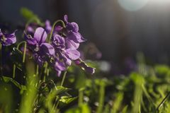 Delicate and small fragrant flowers of violets surrounded by juicy greens. Background with flowers is soft. stock images