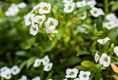 Delicate white flowers against green leaves Royalty Free Stock Photography