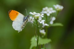 Delicate small orange and white butterfly Anthocharis cardamines. Delicate orange and white butterfly Anthocharis cardamines searching for nectar royalty free stock photos