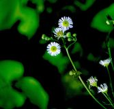 Delicate small white flowers with green and black abstract background. Delicate, small white flowers with tiny leaves that encircle their circular centers. A royalty free stock image