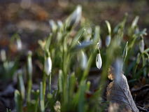 Delicate Snowdrop flower is one of the spring Royalty Free Stock Images