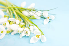 Delicate snowdrops on a blue Stock Photos