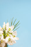 Delicate snowdrops on a blue Royalty Free Stock Images