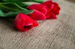 Delicate soft tulips bloom. In spring day Stock Photography