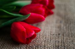 Delicate soft tulips bloom. In spring day Stock Photos