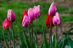 Delicate soft tulips bloom. In spring day Stock Photo
