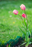 Delicate soft tulips bloom. In spring day Royalty Free Stock Image
