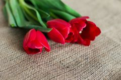 Delicate soft tulips bloom. In spring day Royalty Free Stock Photo