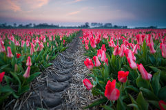The Delicate Sound. Blue hour at the tulip fields. All is silent but the creacking sound of the tulips Royalty Free Stock Photos