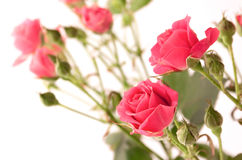 Delicate spray roses. On the white background Royalty Free Stock Image