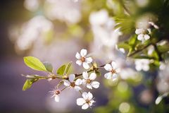 Delicate sprig of cherry blossoms with the young leaves royalty free stock image