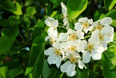 Flowering branch of pear royalty free stock photography