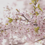 Delicate Spring Cherry Blossoms. Soft Focus Pink Cherry Blossoms Stock Image