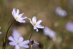 Delicate spring flowers Royalty Free Stock Photography