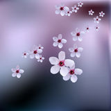 Delicate spring flowers, wild cherries on branch of cherry tree. Cherry blossoms of japanese sakura. Stock Photography