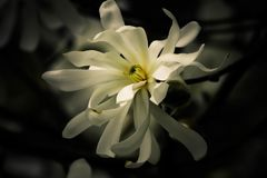 Delicate star magnolia flower in full blook. Pretty, bright, and delicate white star magnolia flower in full bloom in springtime Stock Photo