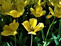 Sunshine yellow tulips in early morning Royalty Free Stock Photos