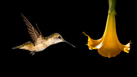 Delicate tiny Hummingbird over black background Stock Image