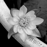 Delicate tiny lily. A monochrome study of miniature water lily growing in a small ceramic pot of water in garden royalty free stock photo