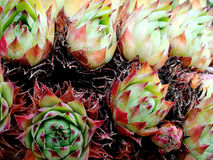 Delicate toothed succulent plants Stock Image