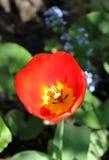 Delicate tulip Stock Image