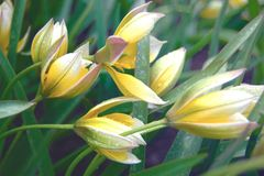 Delicate tulipa tarda flowers in rainy weather stock images