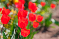 Delicate tulips flower close up Stock Photo