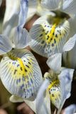 Delicate veined patterns on petals of dwarf iris in sunlight Stock Image