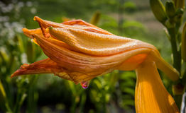 Delicate water droplet about to fall from flower bud Royalty Free Stock Image
