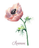 Delicate watercolor anemone Stock Photos